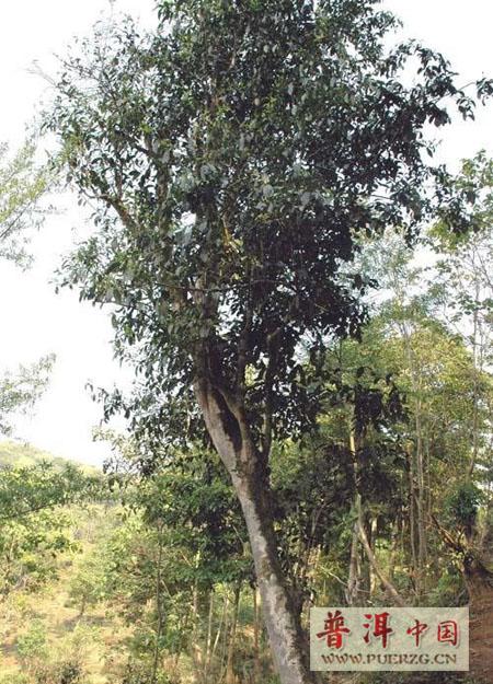 对很多普洱茶爱好者来说,易武刮风寨是个再熟悉不过的名词.